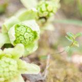 旬の作物には意味がある!苦みがおいしい「春の野草」